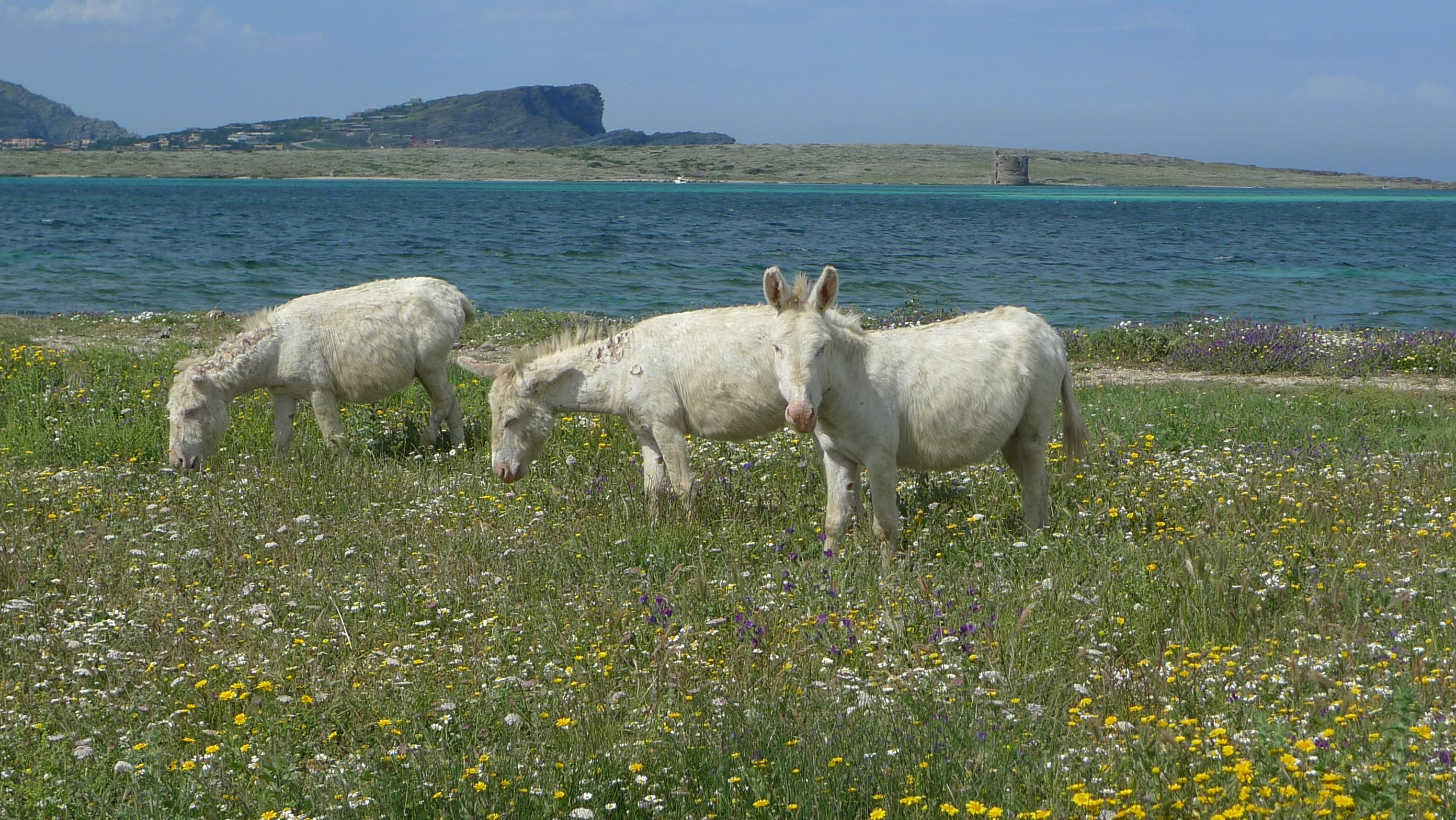 Asinara White Donkey Island